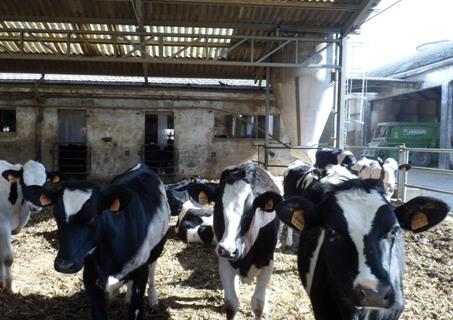 Mucche alla Fattoria di Azzano