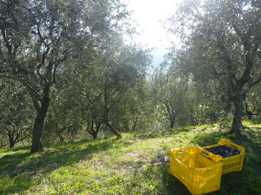 Raccolta delle olive a Ramandolo