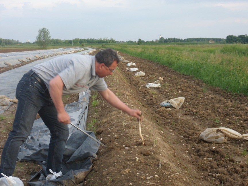 La raccolta dell'asparago a Lis Rosis