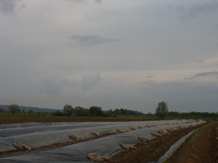 Campo di asparagi bianchi a Medea