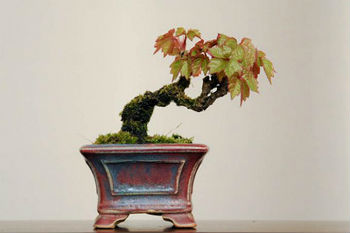 La vite bonsai