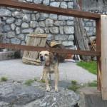 Un cane da guardia (?) a Forni Avoltri