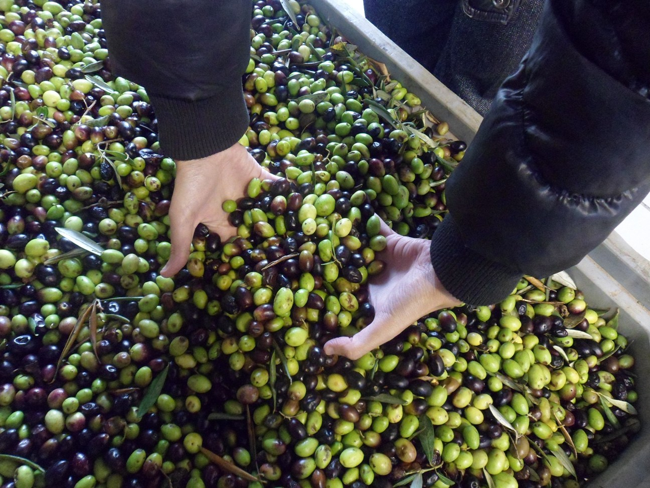 Olive a San Dorligo della Valle