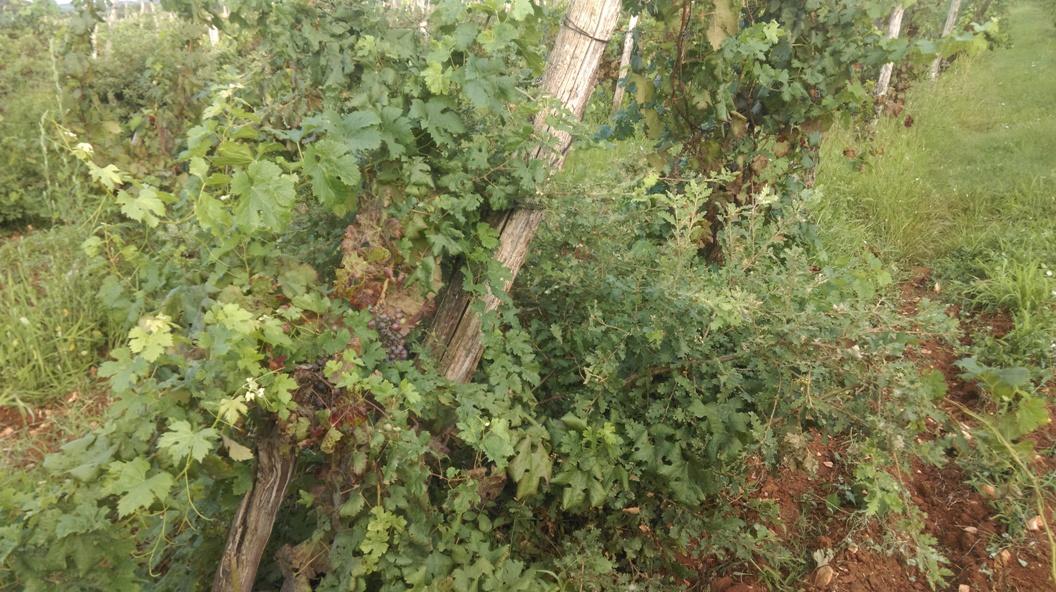esempio di viticoltura naturale