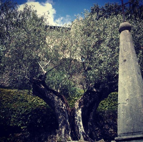 Ulivo secolare ai piedi di Castelmonte