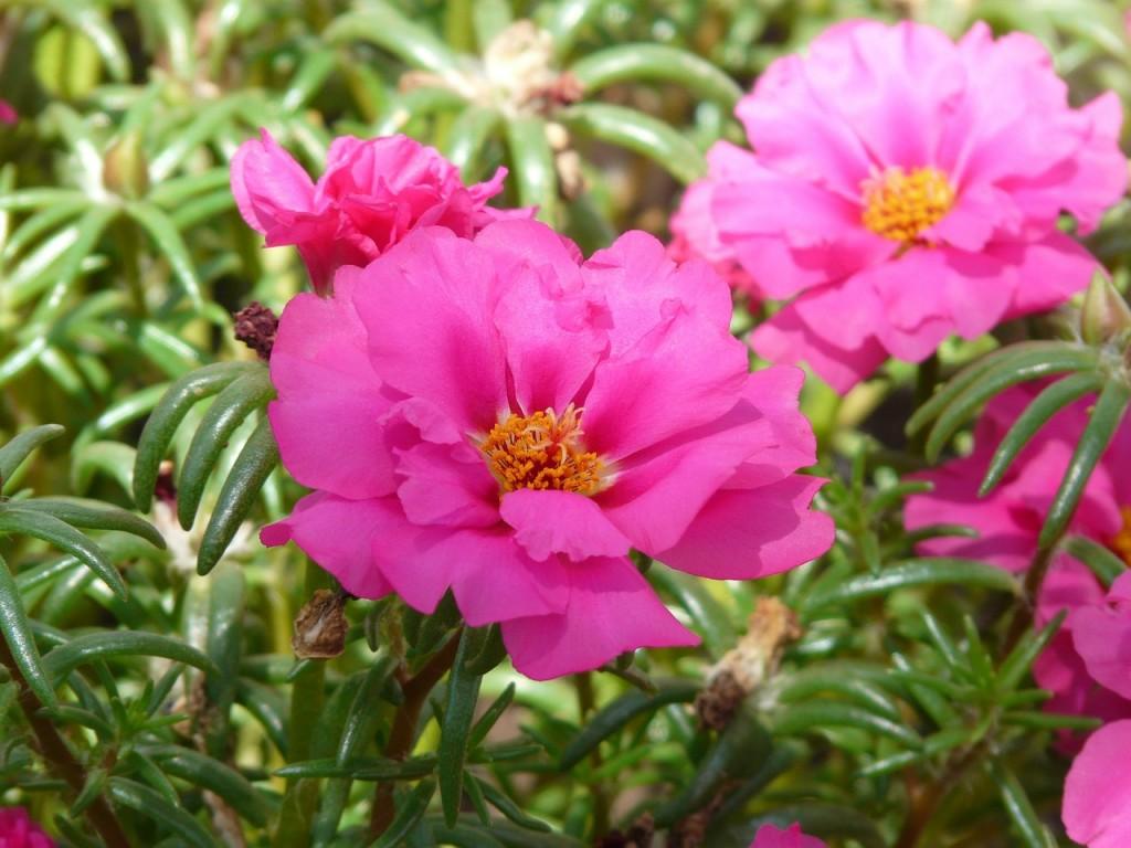 Portulacca, la mia pianta preferita
