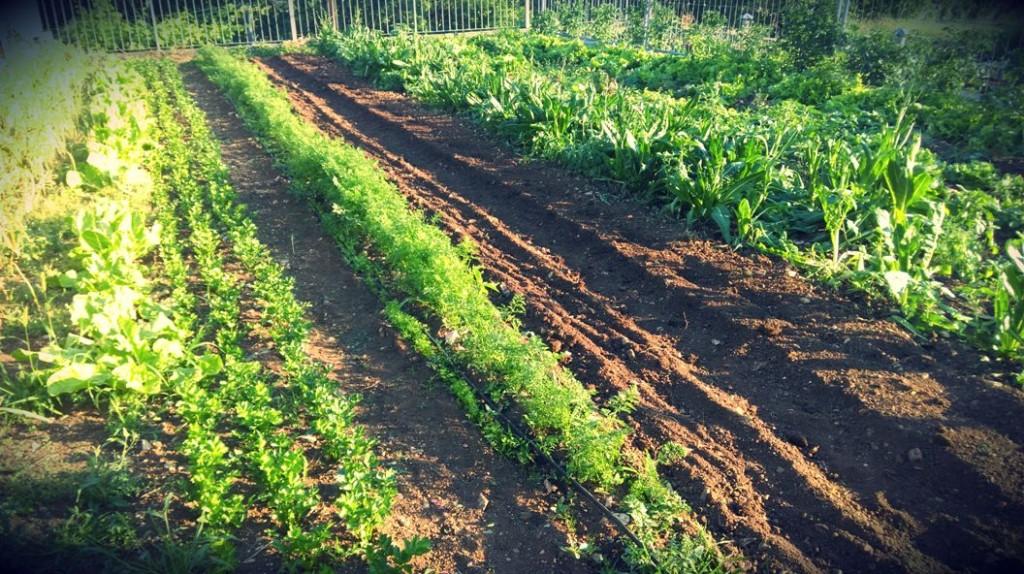 Una parte dell'orto dell'agricola Stanissa